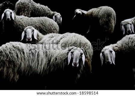sheeps on black background - stock photo