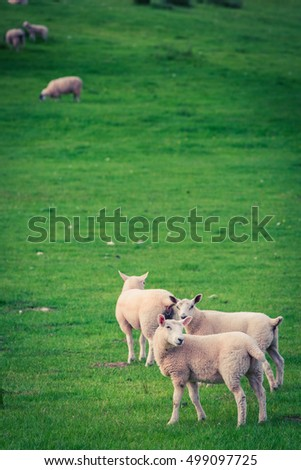 Sheeps on green pasture in District Lake