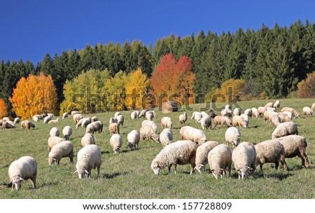 Sheeps on pasture at region Liptov, Slovakia - stock photo