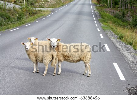 sheeps on road - stock photo
