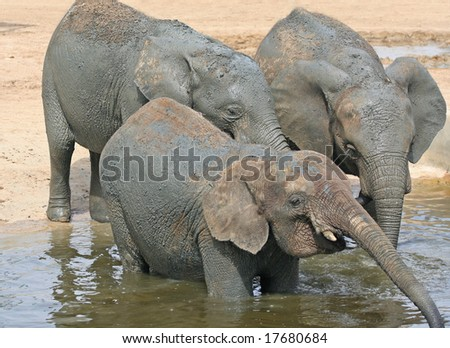Sheer Heaven, three Elephants at Water Hole in Africa and one closes eyes in ecstasy as it drinks with droplets falling from Mouth