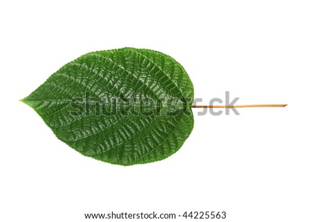 Sheet of a decorative tree growing in apartment - stock photo