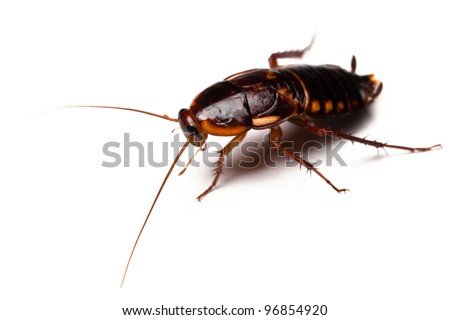 Shelfordella lateralis - Turkestan Cockroach isolated on white