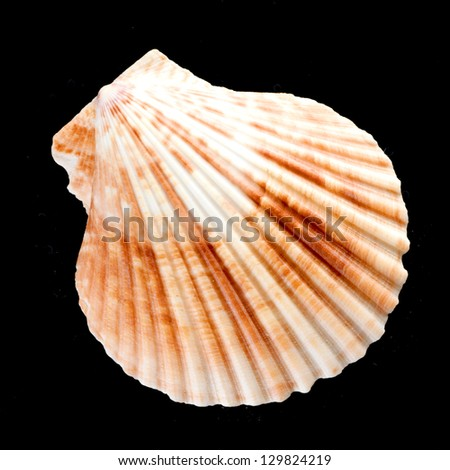 Shell isolated on black