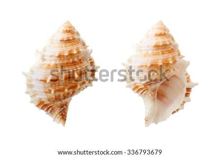 Shell isolated on white background - stock photo