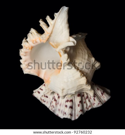 Shell on black background - stock photo