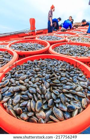 shellfish (Paphia undulata) On fishing vessels Gulf of Thailand - stock photo