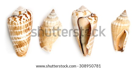 Shells of Strawberry conch ( Conomurex Luhuanus) and Samar conch (Canarium Labiatum) isolated on white background. - stock photo