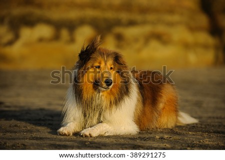 Sheltie dog lying on the beach with natural bluffs in the background