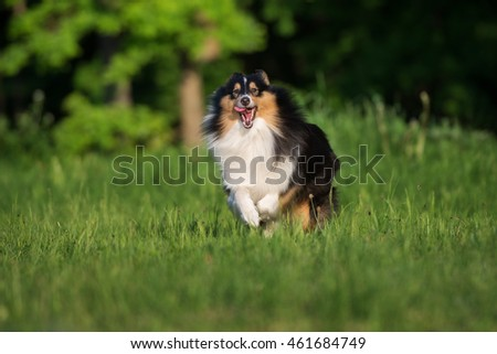 sheltie dog running outdoors in summer