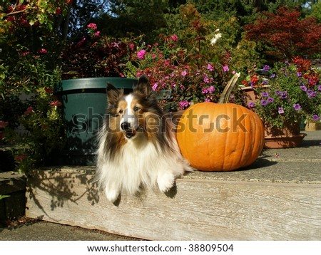 Sheltie in garden with pumpkin