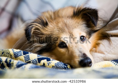 Sheltie laying down on living room couch - stock photo