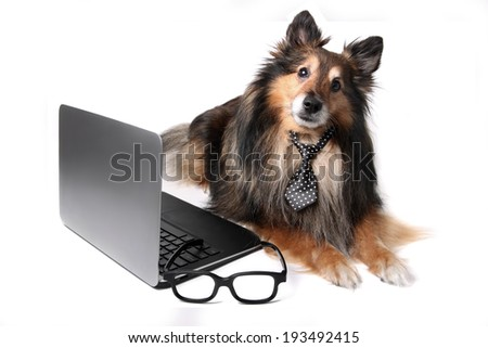 Sheltie or Shetland Sheepdog wearing a tie laying by a computer laptop, working at the office concept - stock photo