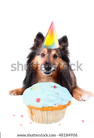 Sheltie or Shetland sheepdog with party hat and frosted cupcake celebrating a birthday