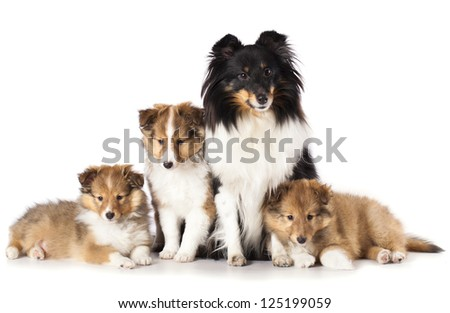 sheltie puppies and mother dog, A Family of Shetland - stock photo