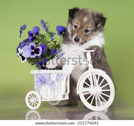 Sheltie puppy on a bicycle - stock photo