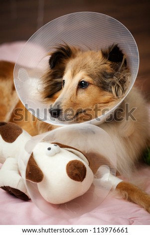 Sheltie recovering from surgery with her toy - stock photo