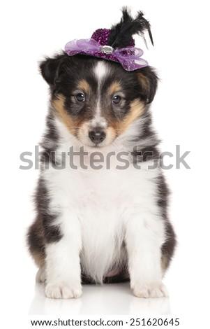 Sheltie Shetland Sheepdog puppy with violet bow on a white background. - stock photo