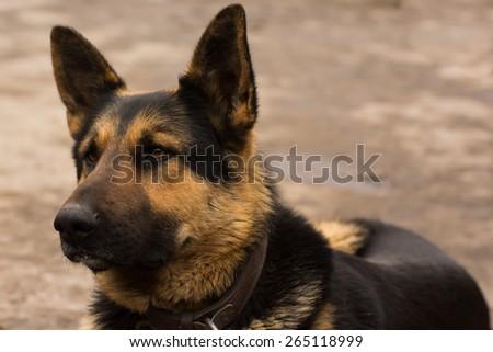 Shepherd  - stock photo