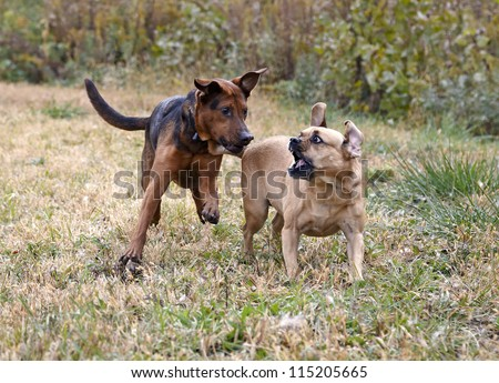 Shepherd Boxer and Puggle mixed breed dogs playing - stock photo