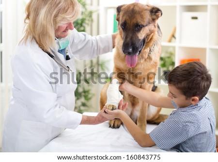 Shepherd Dog getting bandage after injury on his leg,boy caressing him - stock photo