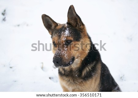 Shepherd dog in a snow - stock photo
