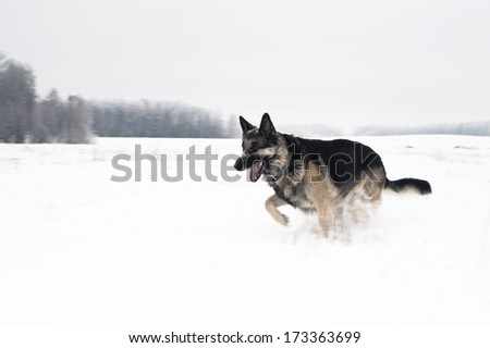 shepherd dog in motion running across the snow field, outdoor shot