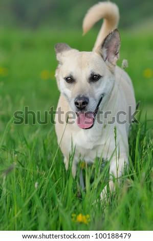 Shepherd Dog Mix walks happily in the meadow - stock photo