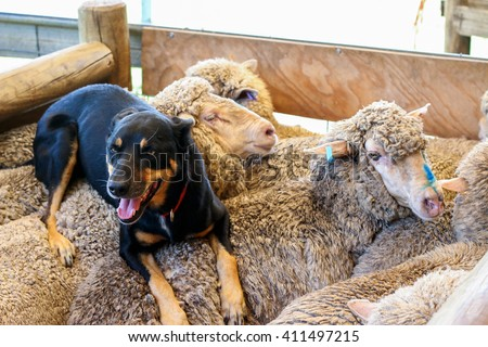 Shepherd dog on sheep at farm - stock photo