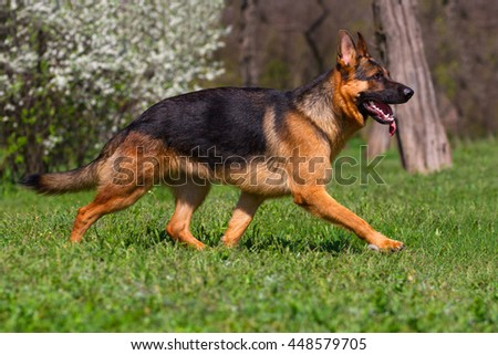 Shepherd dog trotting in spring park