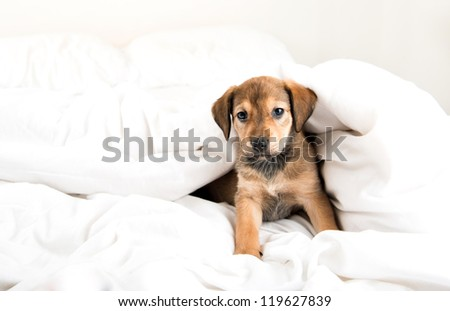 Shepherd Labrador Mix Brown Puppy on White Bed