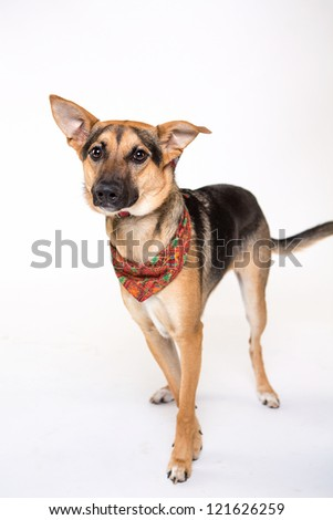 Shepherd Mix isolated on white with Holiday Bandana - stock photo