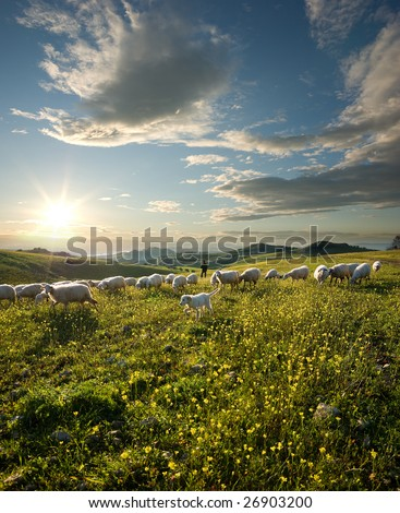 shepherd with dog and sheep that graze in flowered field at sunrise - stock photo