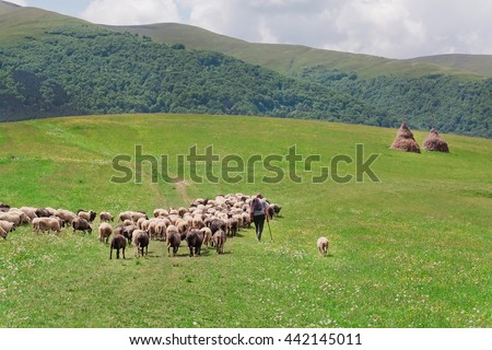 Shepherd with his sheep on pasture under great green hilly range of Carpathian mountains. Rural landscape with farmer - stock photo