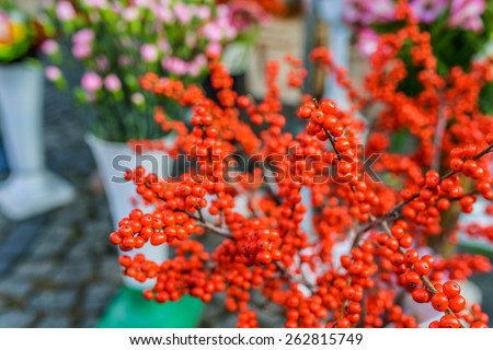 Shepherdia, commonly called buffaloberries or bullberries, are a genus of small shrubs in the Elaeagnaceae Family. - stock photo