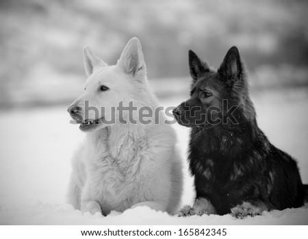 shepherds in snow - stock photo