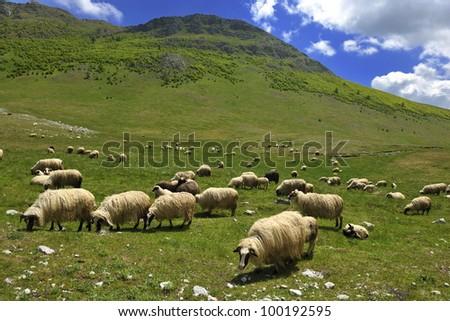 shepp farm animal in fresh spring nature eat grass - stock photo