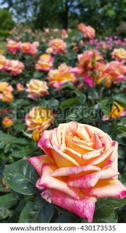 Sherbet Roses in the Rose Garden - stock photo