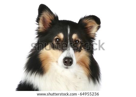 Shetland Collie portrait - stock photo