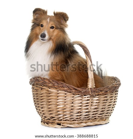 shetland dog in front of white background - stock photo
