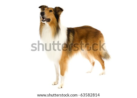 Shetland Islands dog on isolated white - stock photo