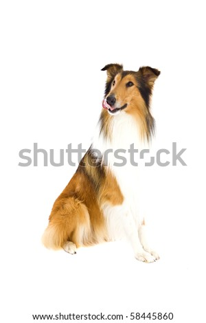 Shetland Islands  Sheepdog Dog on isolated white - stock photo