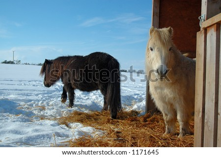 Shetland ponies in winter - stock photo