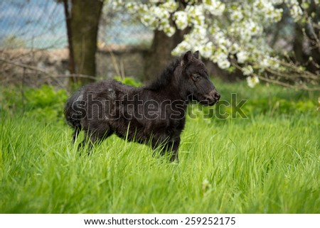 Shetland pony foal in the pasture - stock photo