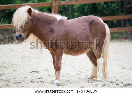 Shetland pony horse - stock photo