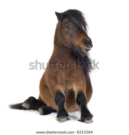 Shetland pony  in front of a white background - stock photo