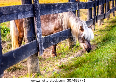 Shetland pony is reaching outside the fence for greener grass - stock photo