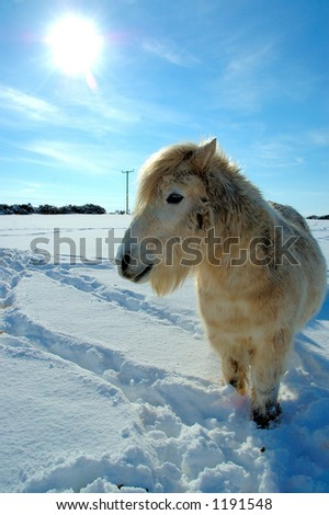 Shetland pony looking for food - stock photo