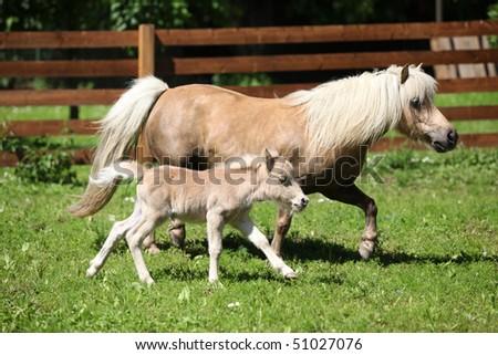 Shetland pony mare with a foal - stock photo