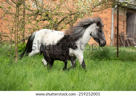Shetland pony mare with foal running in the pasture  - stock photo